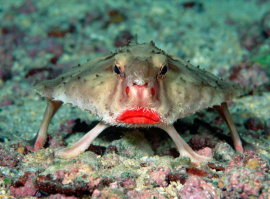 السمكة ذات الشفاه الحمراء redlips[1].jpg